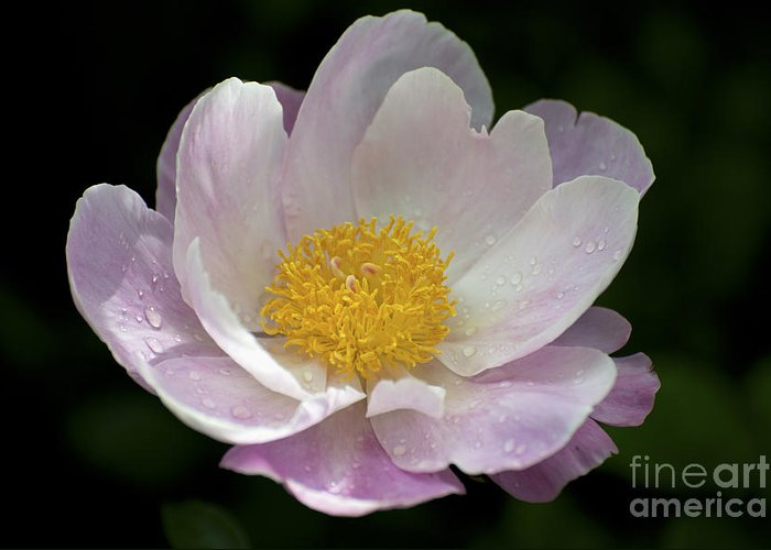 Peonie Greeting Card featuring the photograph Single Peonie 8444 by Terri Winkler