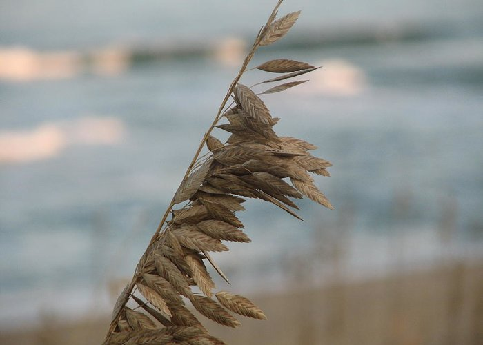 Ocean Greeting Card featuring the photograph Single Strand Beachgrass by Daralyn Spivey