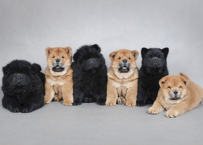 Six Little Chow Chow Puppies Portrait Greeting Card For Sale By