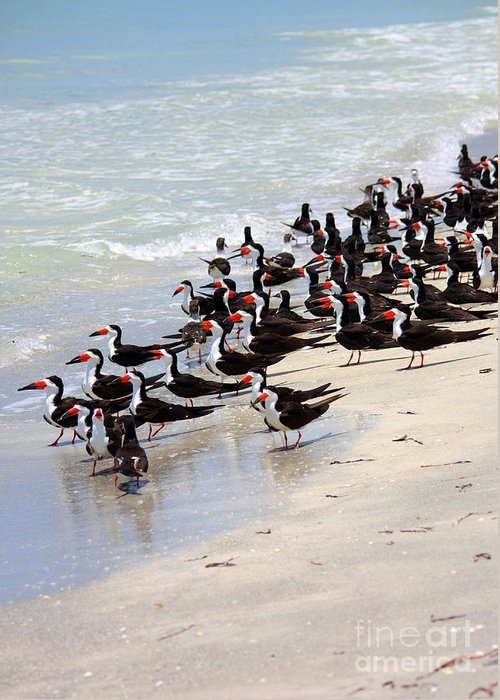 Bird Greeting Card featuring the photograph Skimmers On The Beach by Carol Groenen