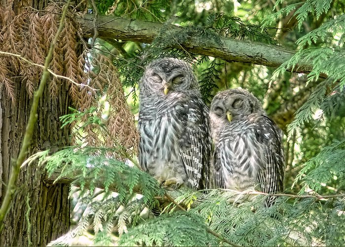 Owl Greeting Card featuring the photograph Sleeping Barred Owlets by Jennie Marie Schell