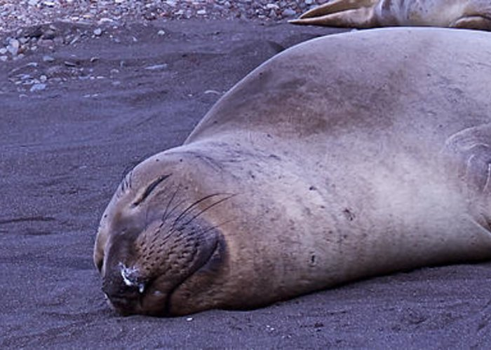 Elephant Seal Greeting Card featuring the photograph Sleeping Elephant Seal - Isla Guadalupe Mexico by Captain Chris Wade