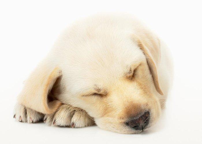 Dog Lying Down Greeting Cards