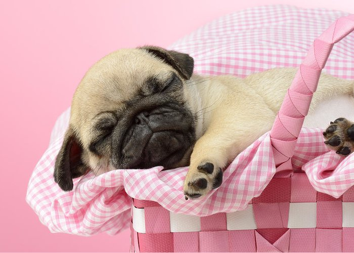 Asleep Greeting Card featuring the photograph Sleeping Pug In Pink Basket by Greg Cuddiford