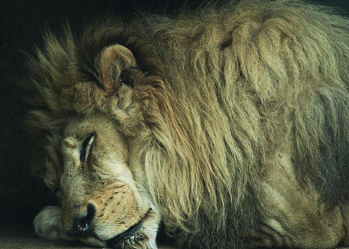 Africa Beasts Big Carnivore Cat Hunter King Lion Predator Sleeping The Tired Wild Wildlife Zoo Sleepy Greeting Card featuring the photograph Sleepy Beast by Thomas Shanahan
