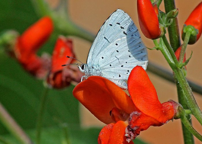Blue Butterfly Greeting Card featuring the photograph Small Blue Butterfly by Tony Murtagh