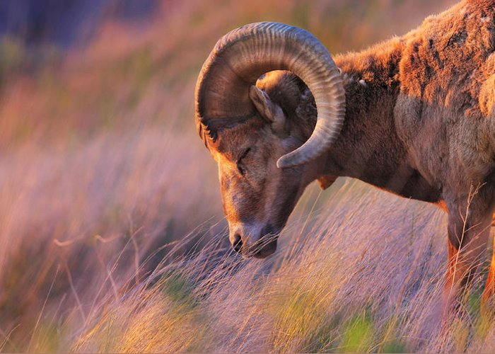 Rocky Mountain Sheep Greeting Cards