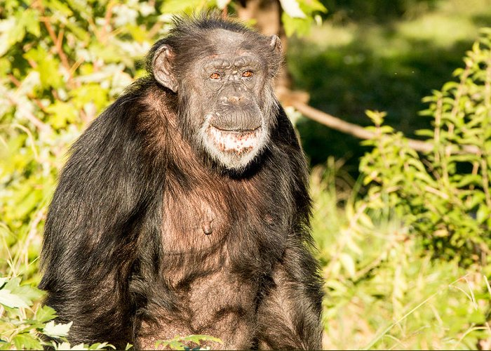 Chimpanzee Greeting Card featuring the photograph Smile by John Ferrante