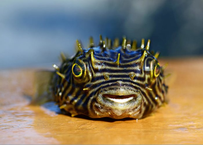 Puffer Fish Digital Art Greeting Cards