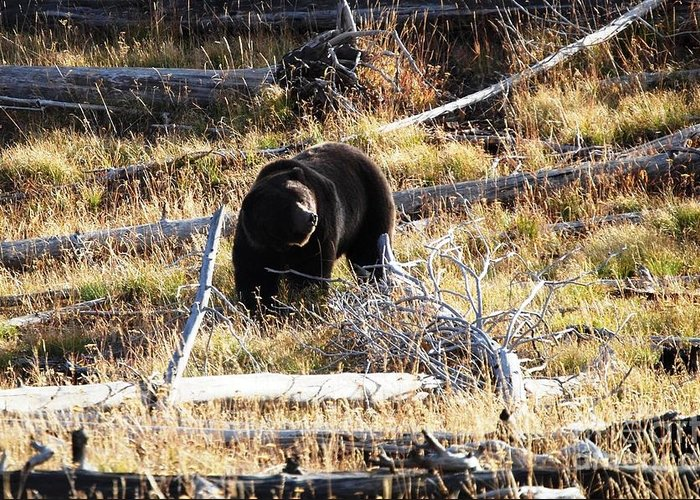Grizzly Greeting Card featuring the photograph Snacking Bruin by Deanna Cagle