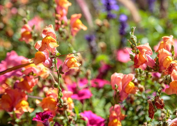 Botanical Greeting Card featuring the photograph Snap Dragons by Susan Leonard