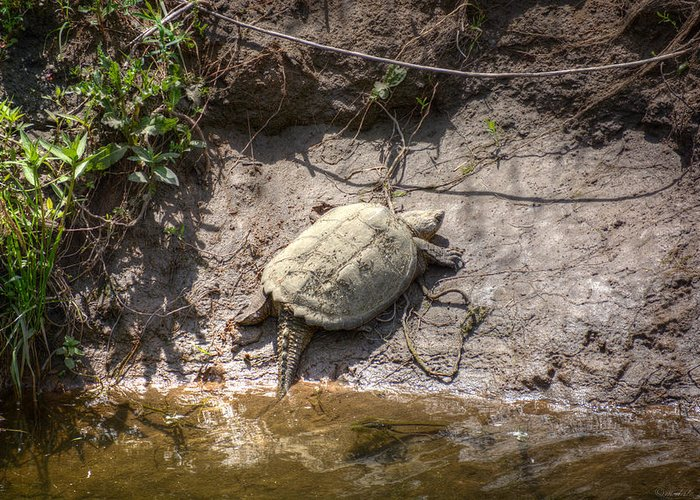 South Dakota Greeting Card featuring the photograph Snapping Turtle by M Dale
