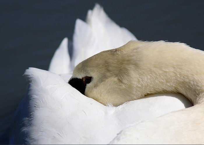 Swan Greeting Card featuring the photograph Snoozer - Swan by Travis Truelove