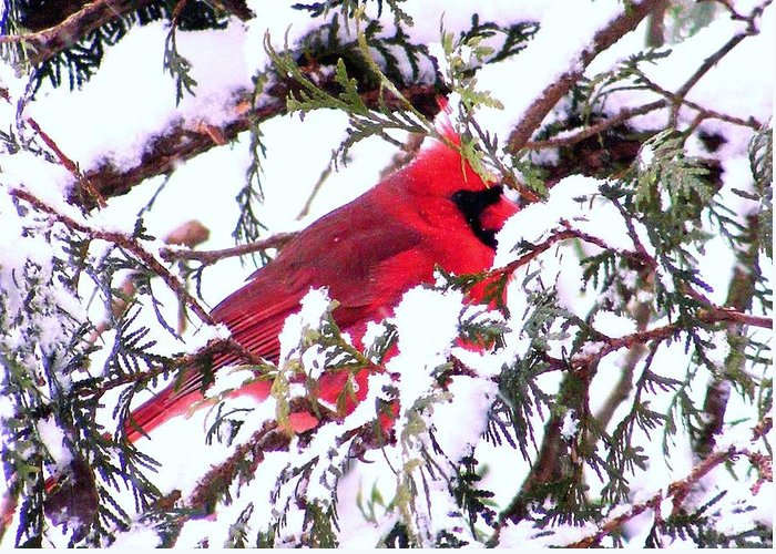 Cardinal Greeting Card featuring the photograph Snow Cardinal by William Fox