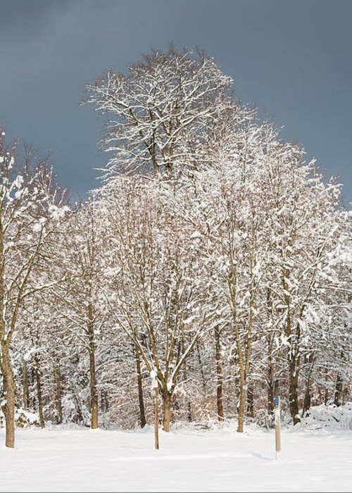 Winter Greeting Card featuring the photograph Snow Covered Trees In The Forest In Winter by Matthias Hauser