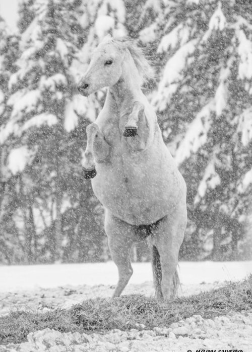 Horse Greeting Card featuring the photograph Snow Dancer by Mary Sword