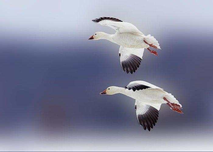 Bird Greeting Card featuring the photograph Snow Goose Flight by Bill Tiepelman