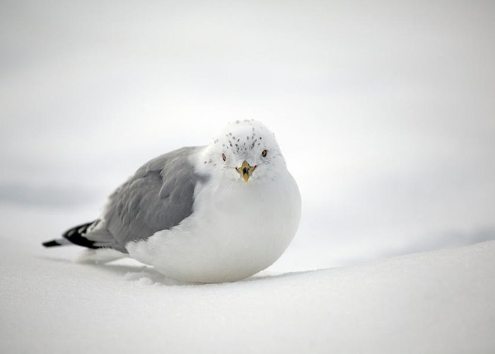 Winter Greeting Card featuring the photograph Snow Gull by Karol Livote