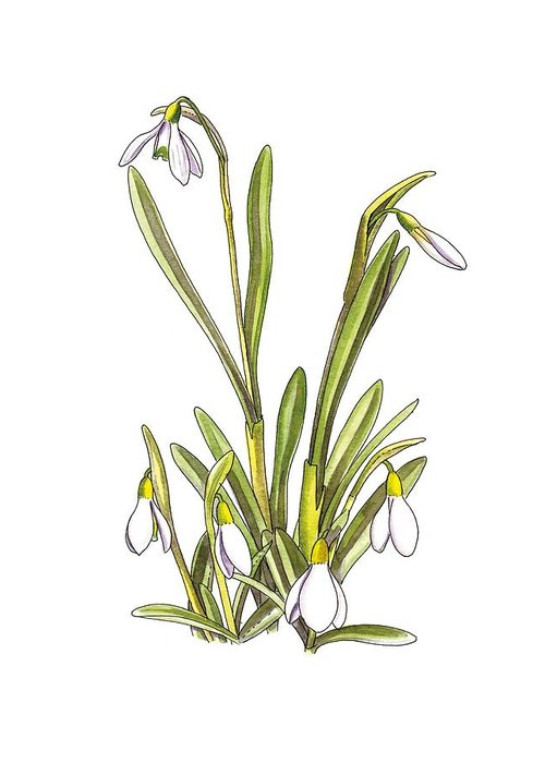 Cutout Greeting Card featuring the photograph Snowdrop (galanthus Nivalis), Artwork by Science Photo Library