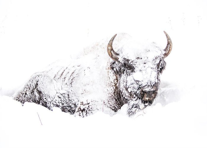 Yellowstone Greeting Card featuring the photograph Snowed-in by Thomas Szajner