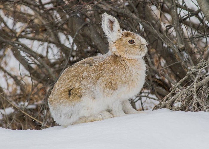 Snow Greeting Card featuring the photograph Snowshoe Hare by Blue Ice Alaska