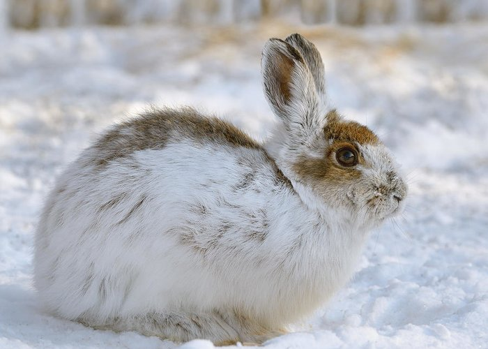 Winter Greeting Card featuring the photograph Snowshoe Hare In Winter by Heather Pickard