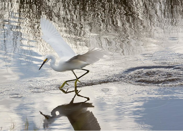 Nature Greeting Card featuring the photograph Snowy Egret Gliding Across The Water by John M Bailey