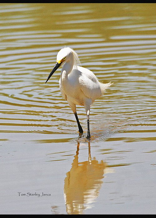 Snowy Egret Looking For Fish Greeting Card featuring the photograph Snowy Egret Looking For Fish by Tom Janca