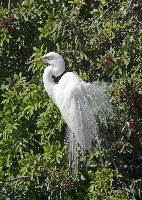 Nature Greeting Card featuring the photograph Snowy Egret by Ralph Brunner