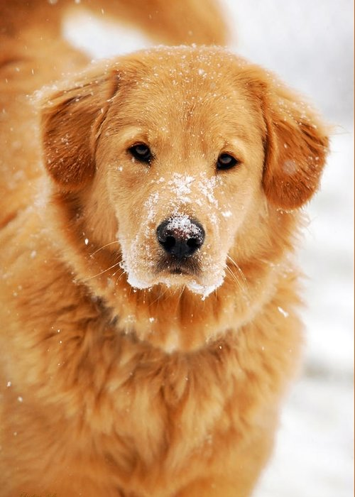 Snowy Greeting Card featuring the photograph Snowy Golden Retriever by Christina Rollo