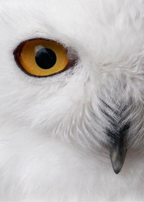 Snowy Owl Greeting Card featuring the photograph Snowy Owl by Andrew McInnes