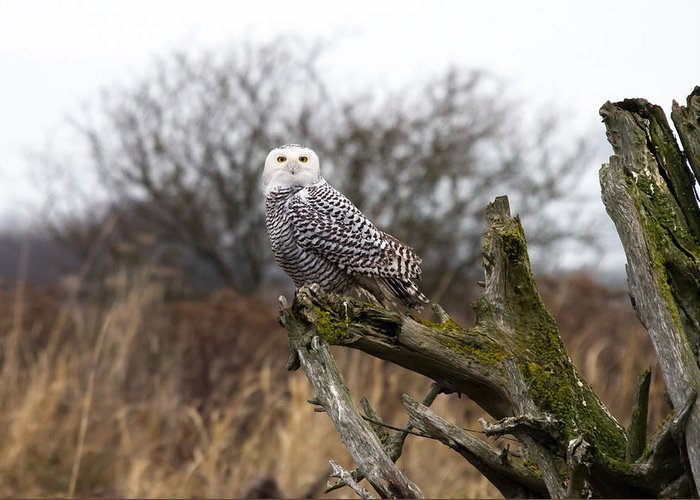 Snowy Owls Greeting Card featuring the photograph Snowy Owl At Boundary Bay by Pierre Leclerc Photography