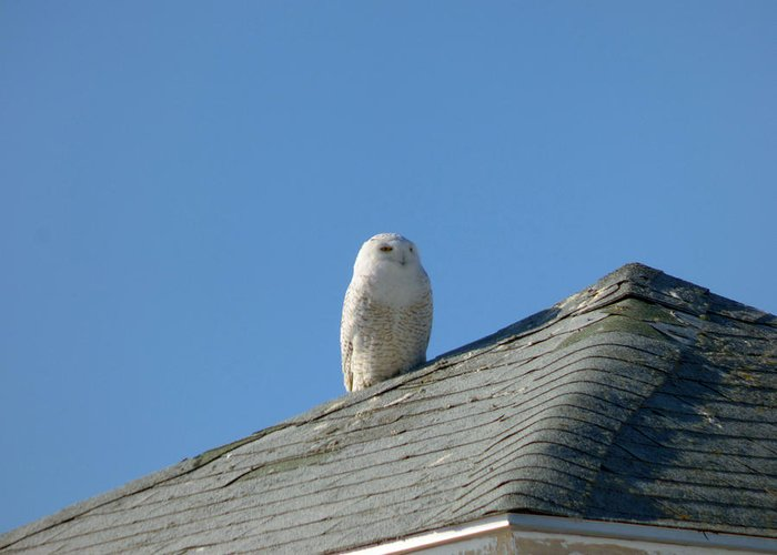 Snowy Owl Greeting Card featuring the photograph Snowy Owl Awaiting An Opportunity by Chris Howe