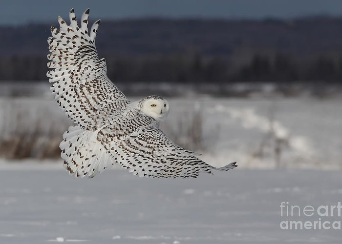 Art Greeting Card featuring the photograph Snowy Owl In Flight by Mircea Costina Photography