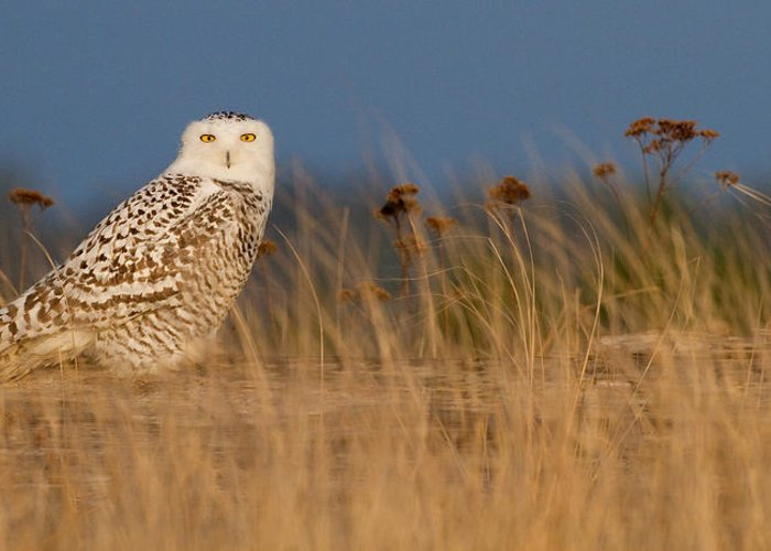 Snowy Owl Greeting Card featuring the photograph Snowy Owl Morning by Max Waugh