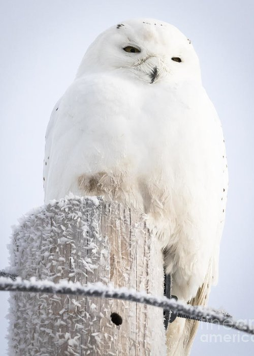 Canon Greeting Card featuring the photograph Snowy Owl by Ricky L Jones