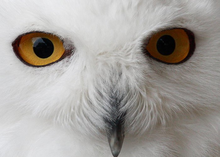 Snowy Owl Greeting Card featuring the photograph Snowy Owl Stare by Andrew McInnes