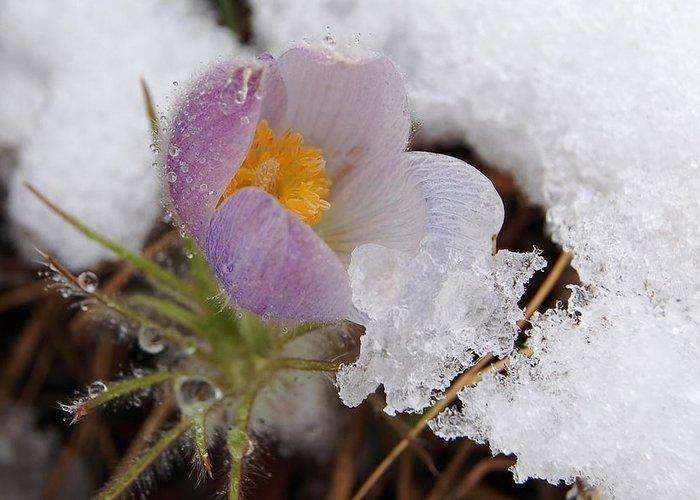 Dakota Greeting Card featuring the photograph Snowy Pasqueflower by Dakota Light Photography By Dakota
