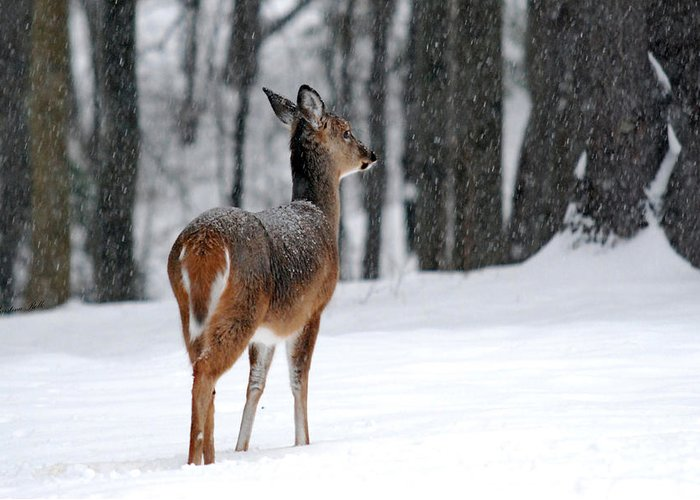 Snowy Greeting Card featuring the photograph Snowy White Tail by Christina Rollo