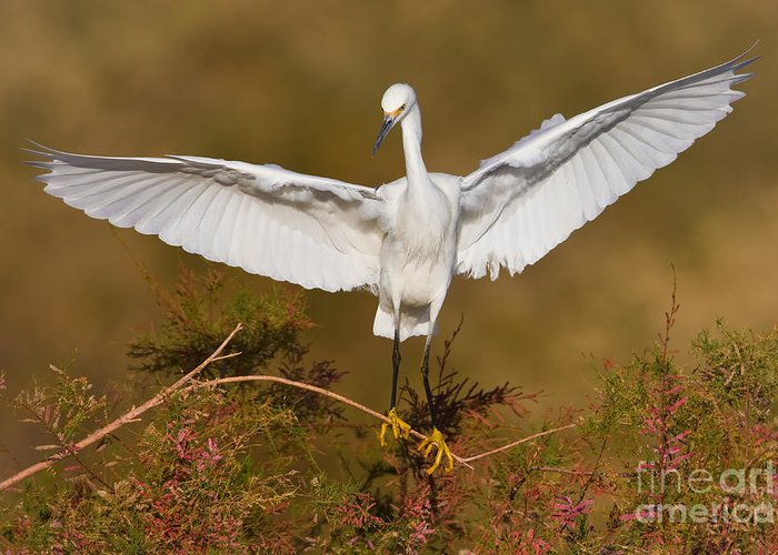 Egret Greeting Card featuring the photograph Snowy Wingspread by Bryan Keil