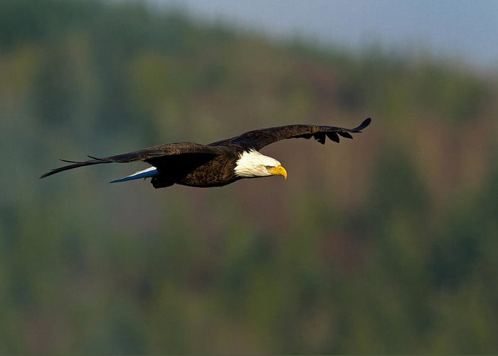 Bald Eagle Greeting Card featuring the photograph Soaring Above by Shari Sommerfeld