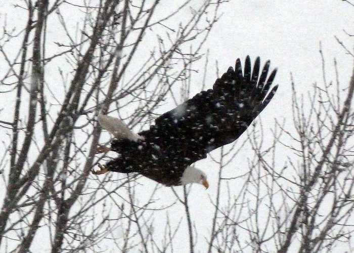 Eagle Greeting Card featuring the photograph Soaring Eagle by Timothy Thornton