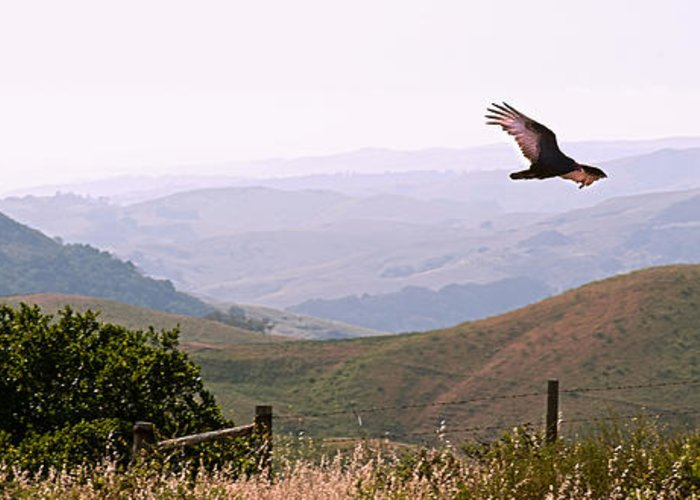 Paso Robles Greeting Card featuring the photograph Soaring Over California - Condor In Morro Bay Coastal Hills by Artist and Photographer Laura Wrede