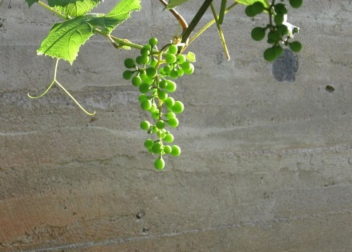 Grapes Greeting Card featuring the photograph Solitary Grapes by Deb Martin-Webster