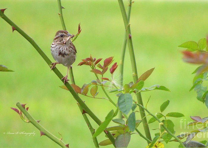 Bird Greeting Card featuring the photograph Song Sparrow by Rima Biswas