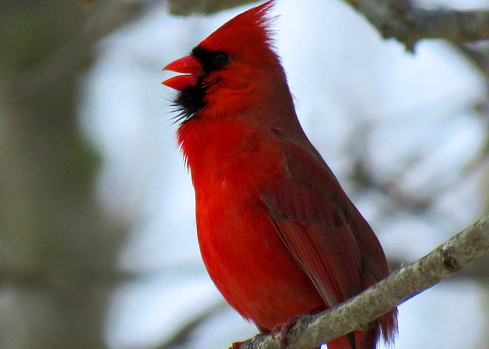 Cardinal Greeting Card featuring the photograph Songs Of Spring by Dianne Cowen