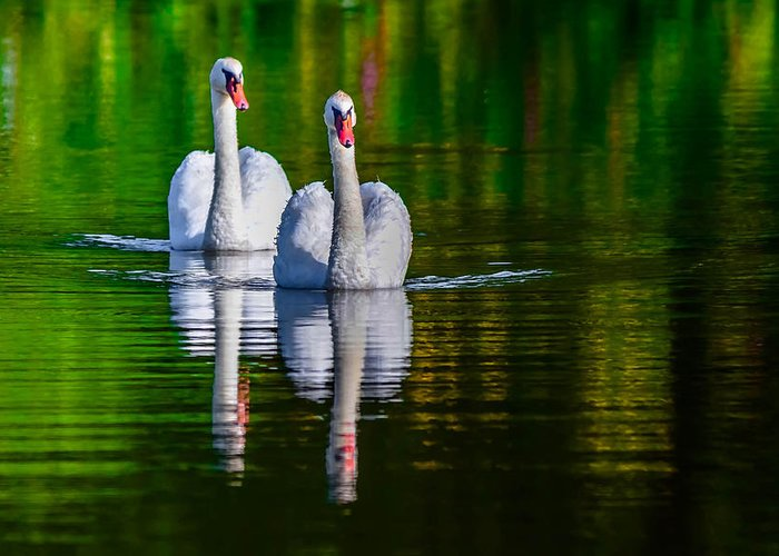 Affection Greeting Card featuring the photograph Soulmate Swans by Brian Stevens