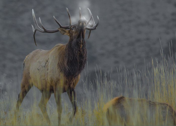 Elk Greeting Card featuring the photograph Sounding Off by Kevin Spriggs