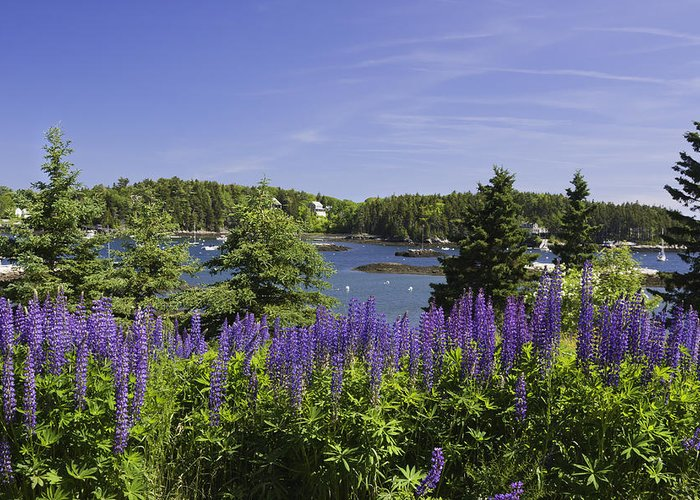 Maine Greeting Card featuring the photograph South Bristol And Lupine Flowers On The Coast Of Maine by Keith Webber Jr