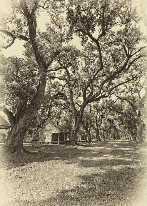 Evergreen Plantation Greeting Card featuring the photograph Southern Lane Sepia by Steve Harrington